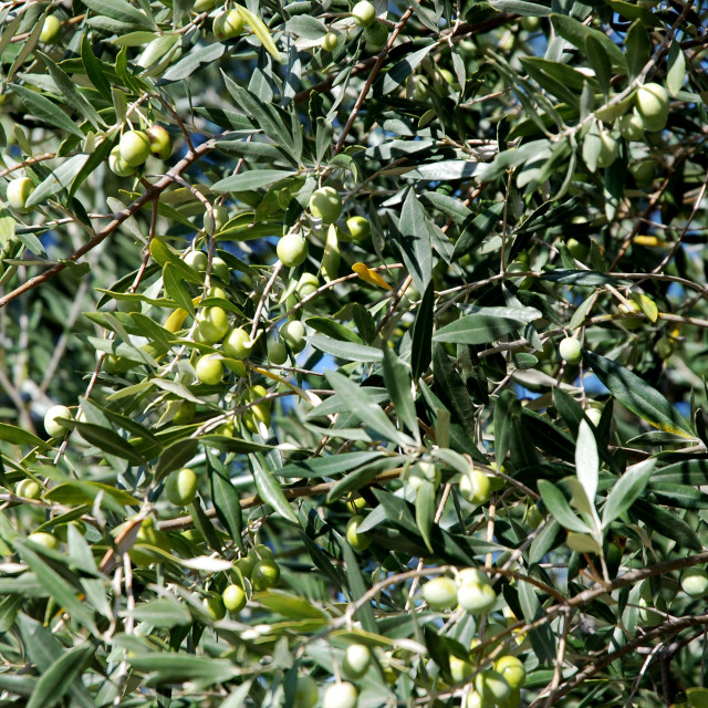 """""""Olive tree in Provence"""" stock image"""