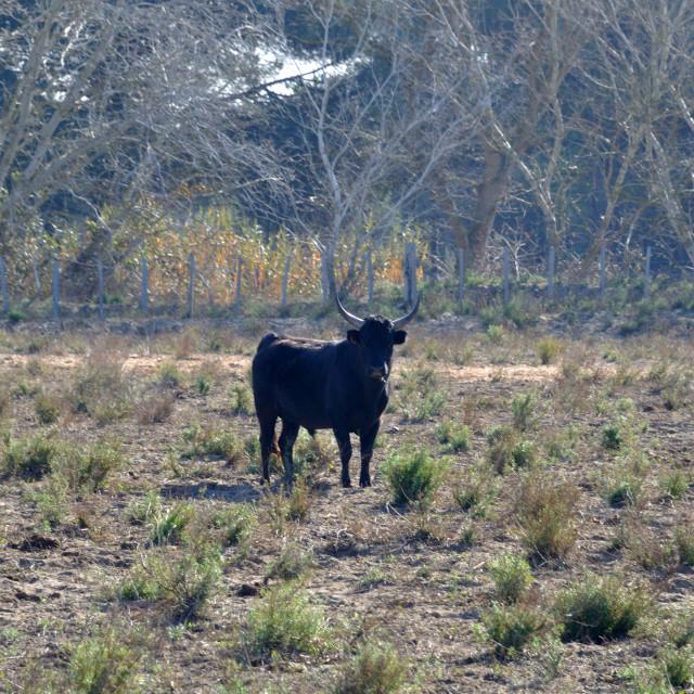 """bulls in Camargue"" stock image"