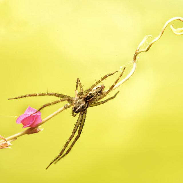 """""""Flexi-legs spider"""" stock image"""
