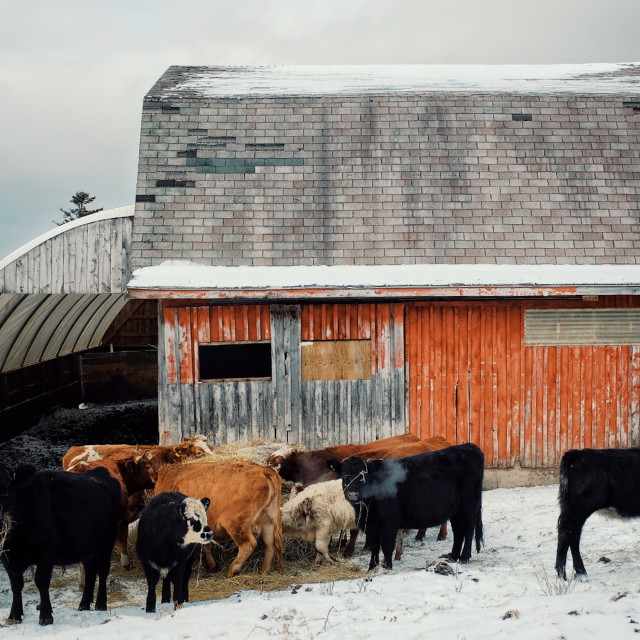 """""""a colorful red barn building with cow cattle feeding from a haystack during the winter with snow covering the fields"""" stock image"""