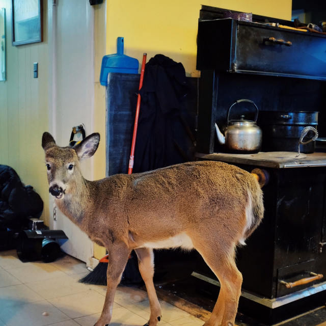 """""""a small pet deer inside the family home kitchen during the cold winter months"""" stock image"""