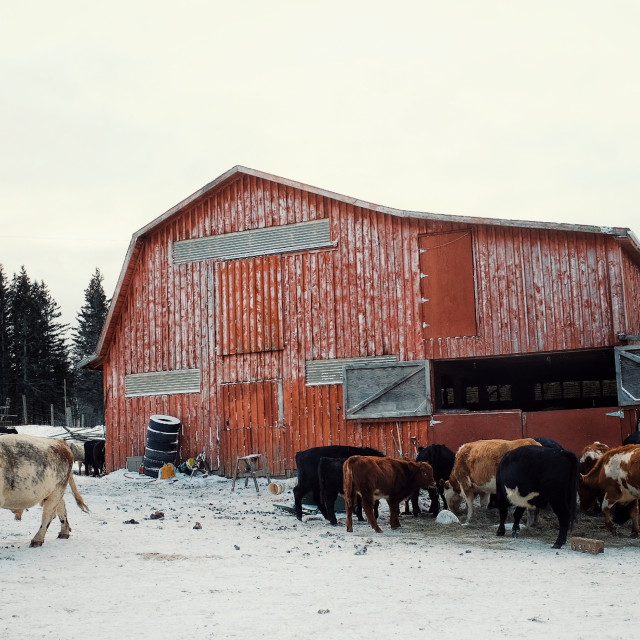 """""""a colorful red barn building with cow cattle feeding from a haystack during the winter with a large bull"""" stock image"""
