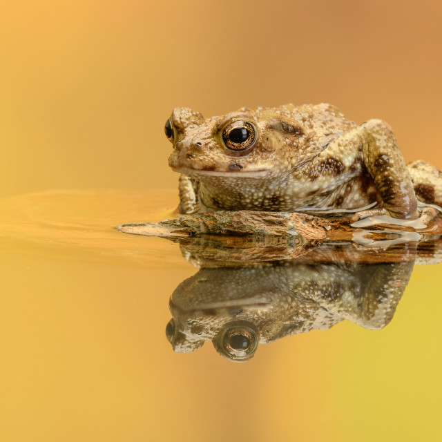 """Common Toad - Reflecting"" stock image"