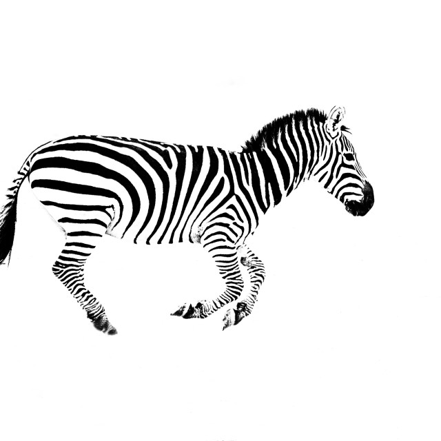 """Zebra - High Key"" stock image"