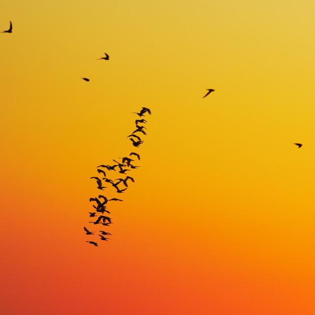 """Birds flying during sunset"" stock image"