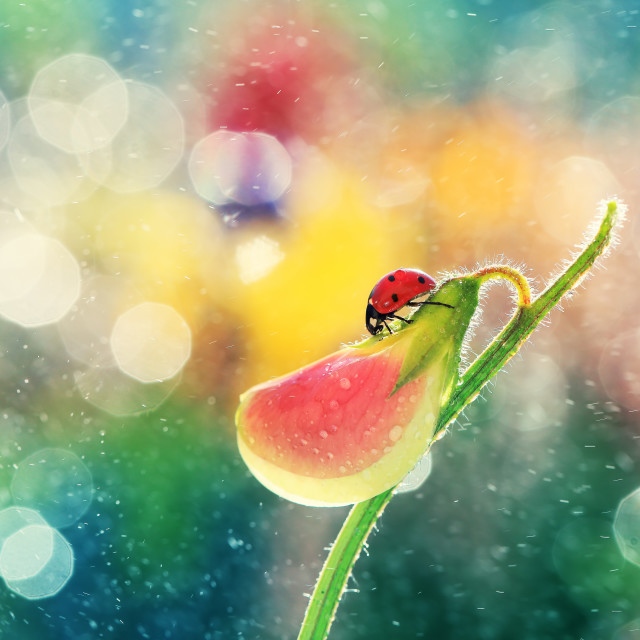 """A small red ladybug rests on a pea fragrant"" stock image"