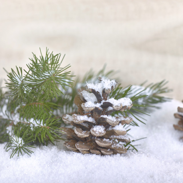 """pine cones covered with snow"" stock image"