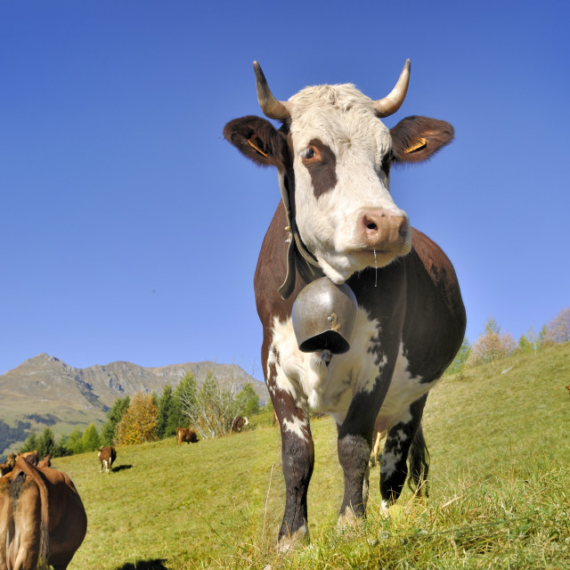 """dairy abundance cow in pasture"" stock image"