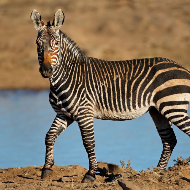 """Cape mountain zebras at a waterhole"" stock image"