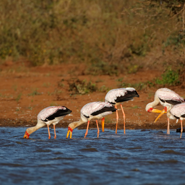"""Yellow-billed storks foraging"" stock image"