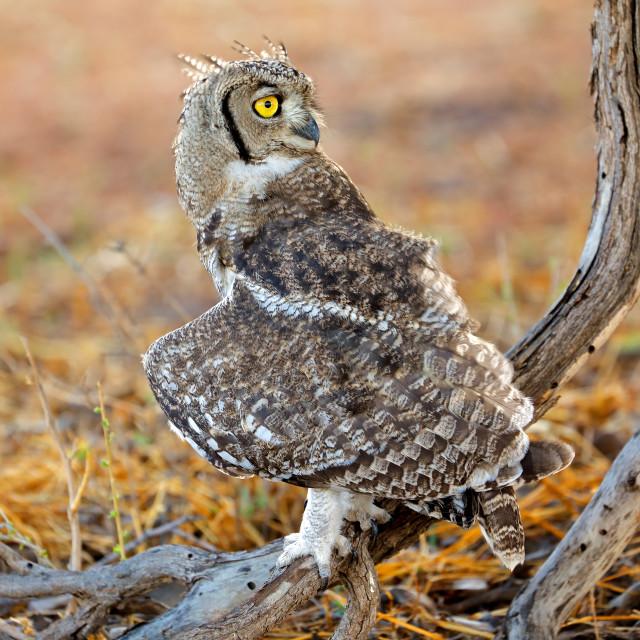 """Spotted eagle-owl - Kalahari desert"" stock image"