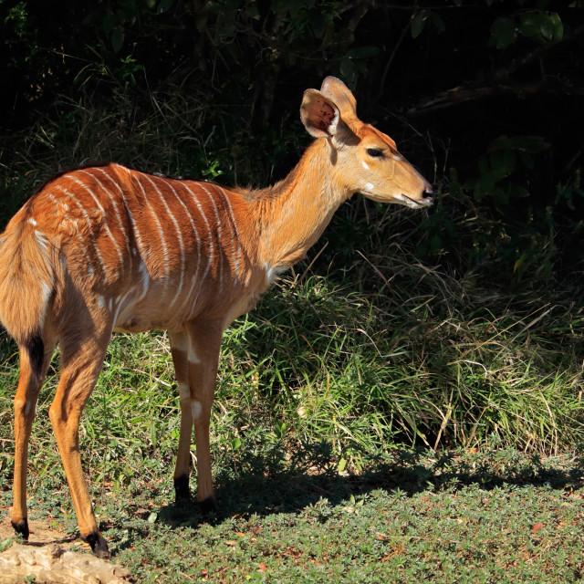 """""""Nyala antelope - South Africa"""" stock image"""