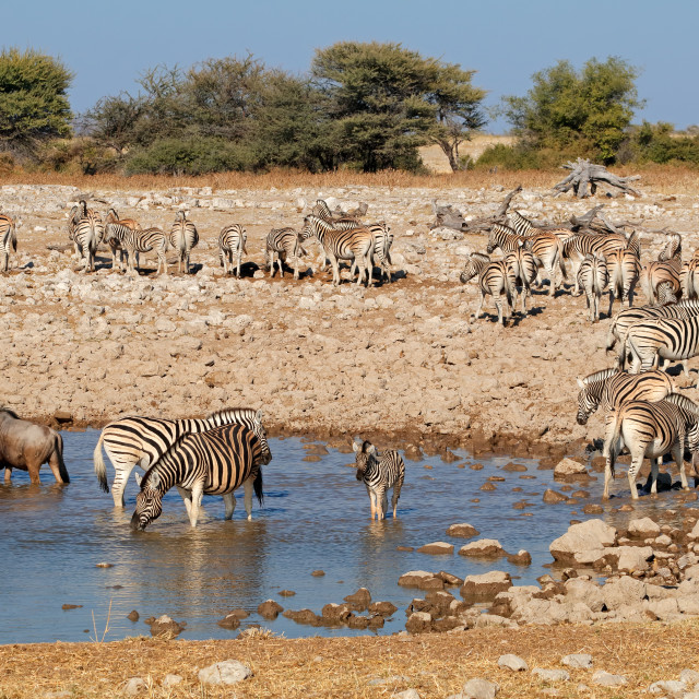 """Zebras and wildebeest at a waterhole"" stock image"