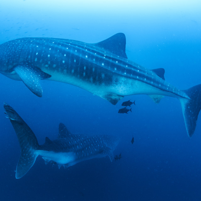 """Two adult female whale sharks in the Galapagos Islands"" stock image"