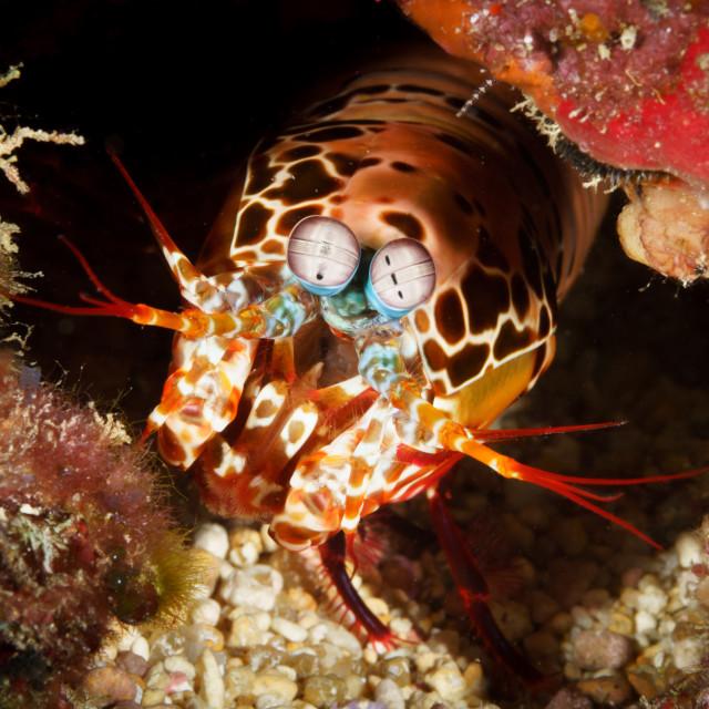 """Peacock mantis shrimp in Mafia Island Marine Park, Tanzania"" stock image"