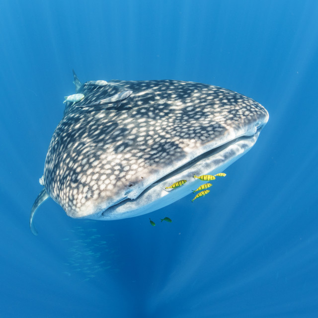 """Whale shark with golden trevally in clear blue ocean off Nosy Be"" stock image"