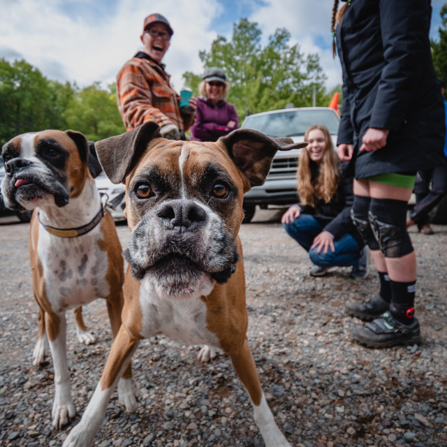 """Boxer Dogs Stealing the Spotlight"" stock image"