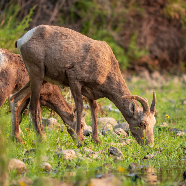 """Bighorn sheep drinking from the river"" stock image"
