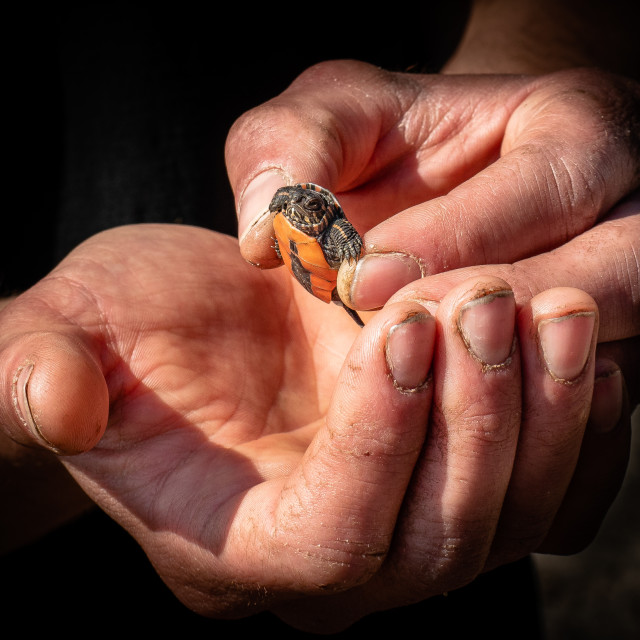 """Freshly Hatched Painted Turtle"" stock image"