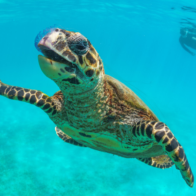 """""""Hawksbill sea turtle eating a jellyfish at Nosy Tanikely, Madaga"""" stock image"""