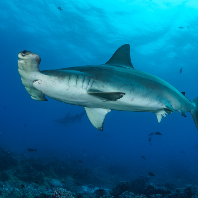 """Scalloped hammerhead shark in the Galapagos Islands"" stock image"