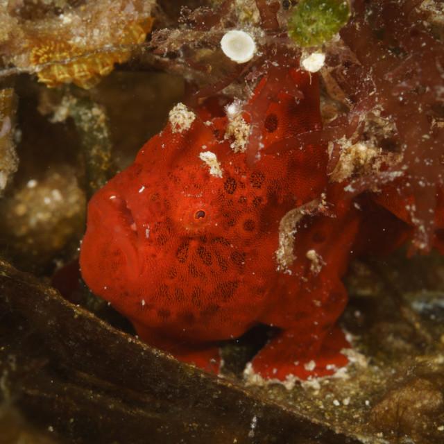 """""""Tiny red frogfish at Mafia Island Marine Park, Tanzania"""" stock image"""