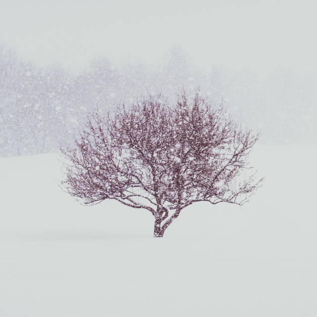 """Red tree in in blizzard"" stock image"