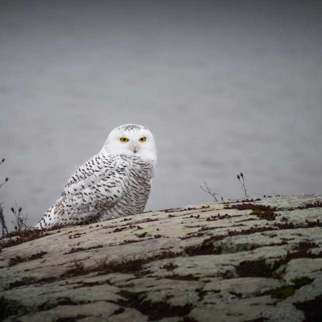 """Snowy Owl stops in its Migration"" stock image"