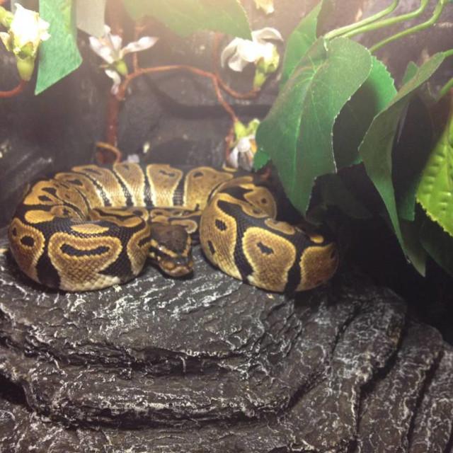 """""""Royal python"""" stock image"""