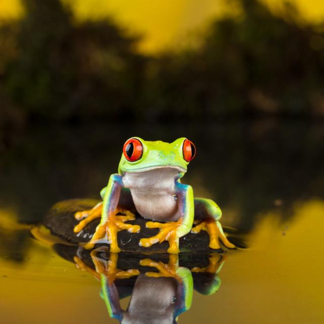 """Tree Frog Reflection"" stock image"
