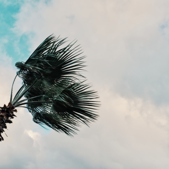 """""""minimal graphic concept picture of palm tree in strong winds in front of storm clouds"""" stock image"""