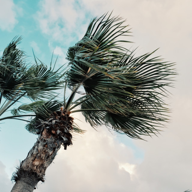 """""""minimal graphic concept picture of palm trees in strong winds in front of storm clouds"""" stock image"""