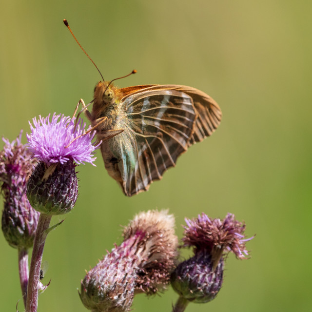 """""""Silver-washed fritillary on thistle"""" stock image"""