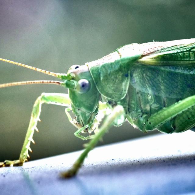 """Macro closeup on an insect Tettigonia viridissima - grasshopper - the great green bush-cricket, is a large species of katydid or bush-cricket, family Tettigoniidae, subfamily Tettigoniinae."" stock image"