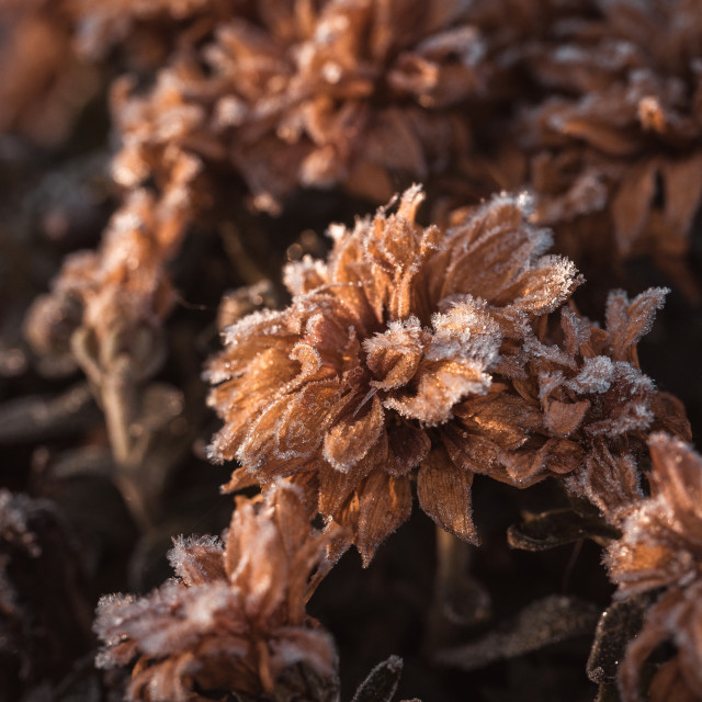 """""""Dry chrysanthemum blooms covered by the frost"""" stock image"""