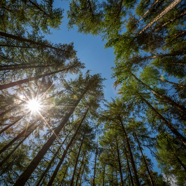 """""""Tall pines"""" stock image"""