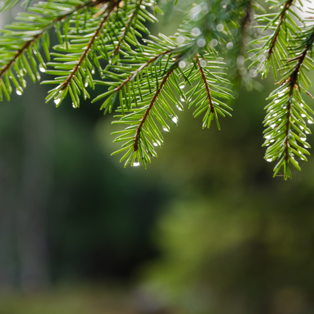 """Fresh spruce twig with droplets"" stock image"