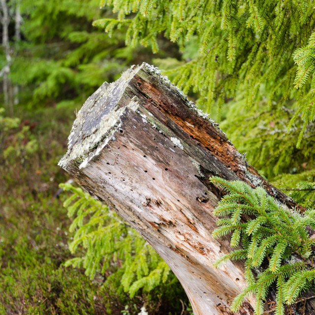 """Old rotten tree stump"" stock image"