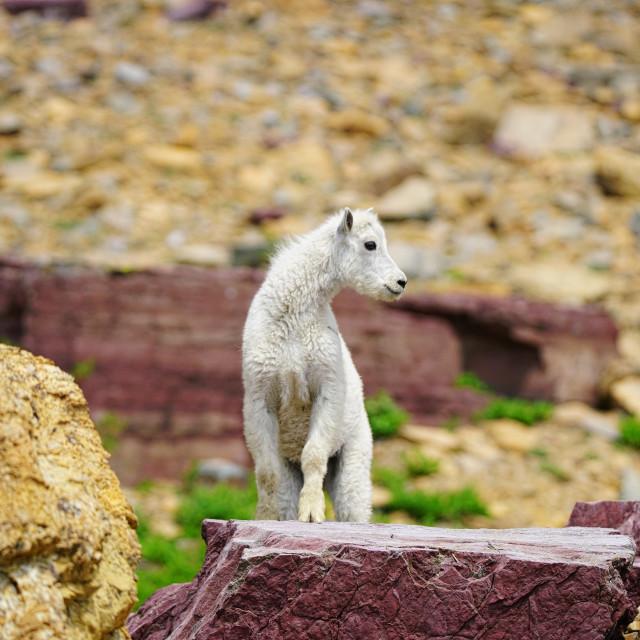 """""""White Mountain Goat"""" stock image"""