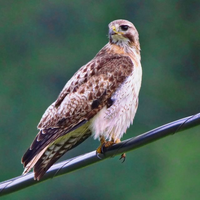 """""""Red Tail Hawk on a wire"""" stock image"""