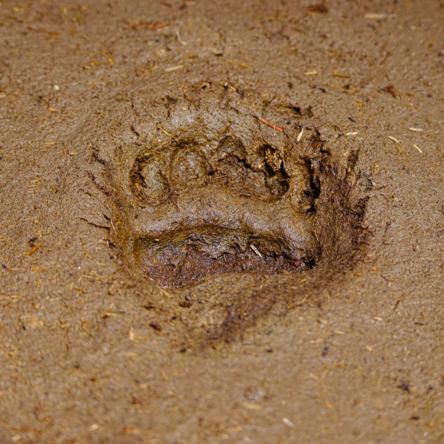 """""""Grizzly Footprint"""" stock image"""