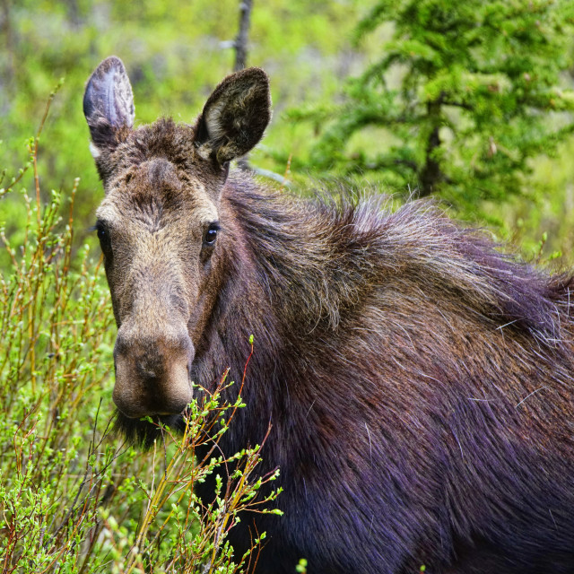 """""""Moose mother"""" stock image"""