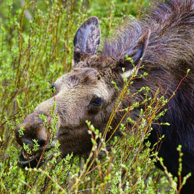 """""""Moose munch"""" stock image"""