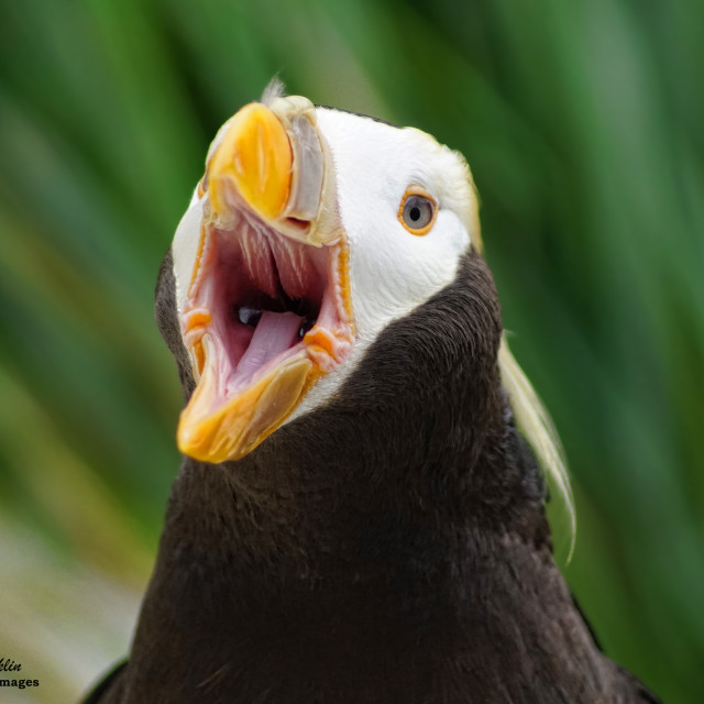 """""""A Puffin opens wide"""" stock image"""