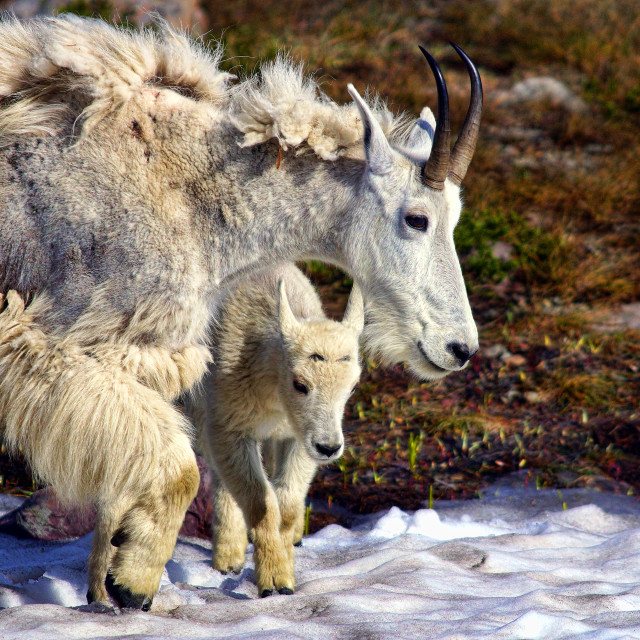 """""""Mountain Goat mother and kid"""" stock image"""