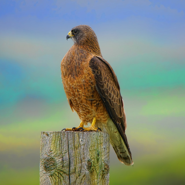 """""""Red Tail Hawk"""" stock image"""