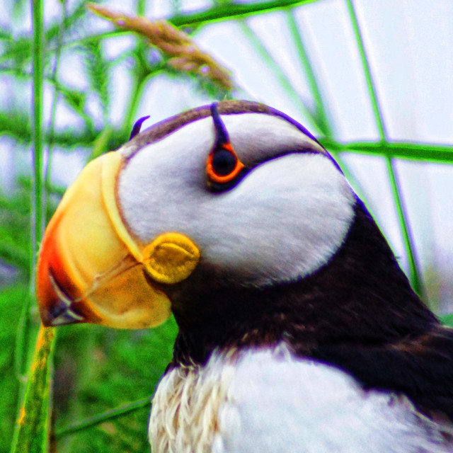 """""""Horned Puffin"""" stock image"""