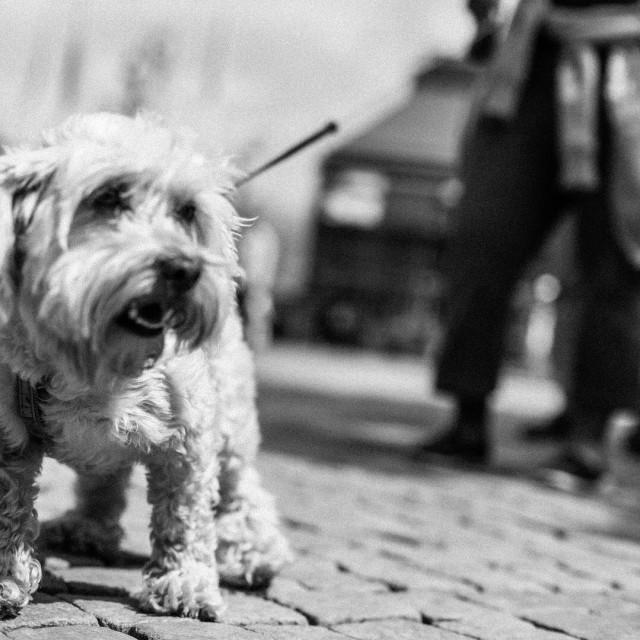 """Small city dog"" stock image"