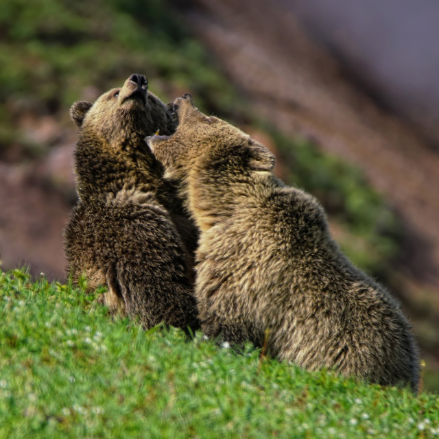 """""""Grizzly Playtime"""" stock image"""