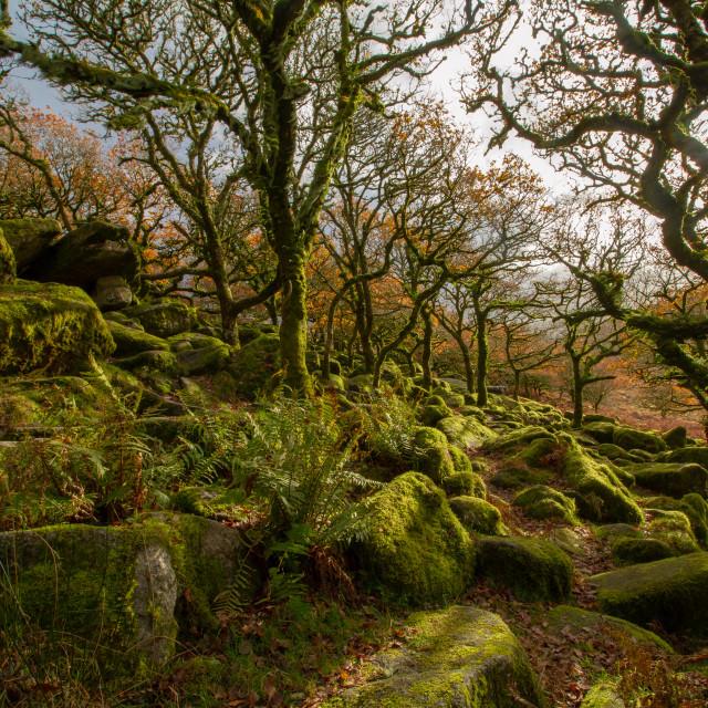 """""""Wistmans wood, Dartmoor"""" stock image"""